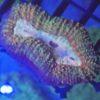 11 Stk. Korallenpaket für Erstbesatz SPS—LPS UND ZOANTHUS DNZ