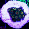 Zoanthus Rasta / Nightmare Mix