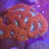WYSIWYG Acanthatrea echinata orange