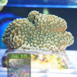 Montipora-sp.6-green-plate´