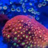 Caulastrea furcata - Neongrün WYSIWYG