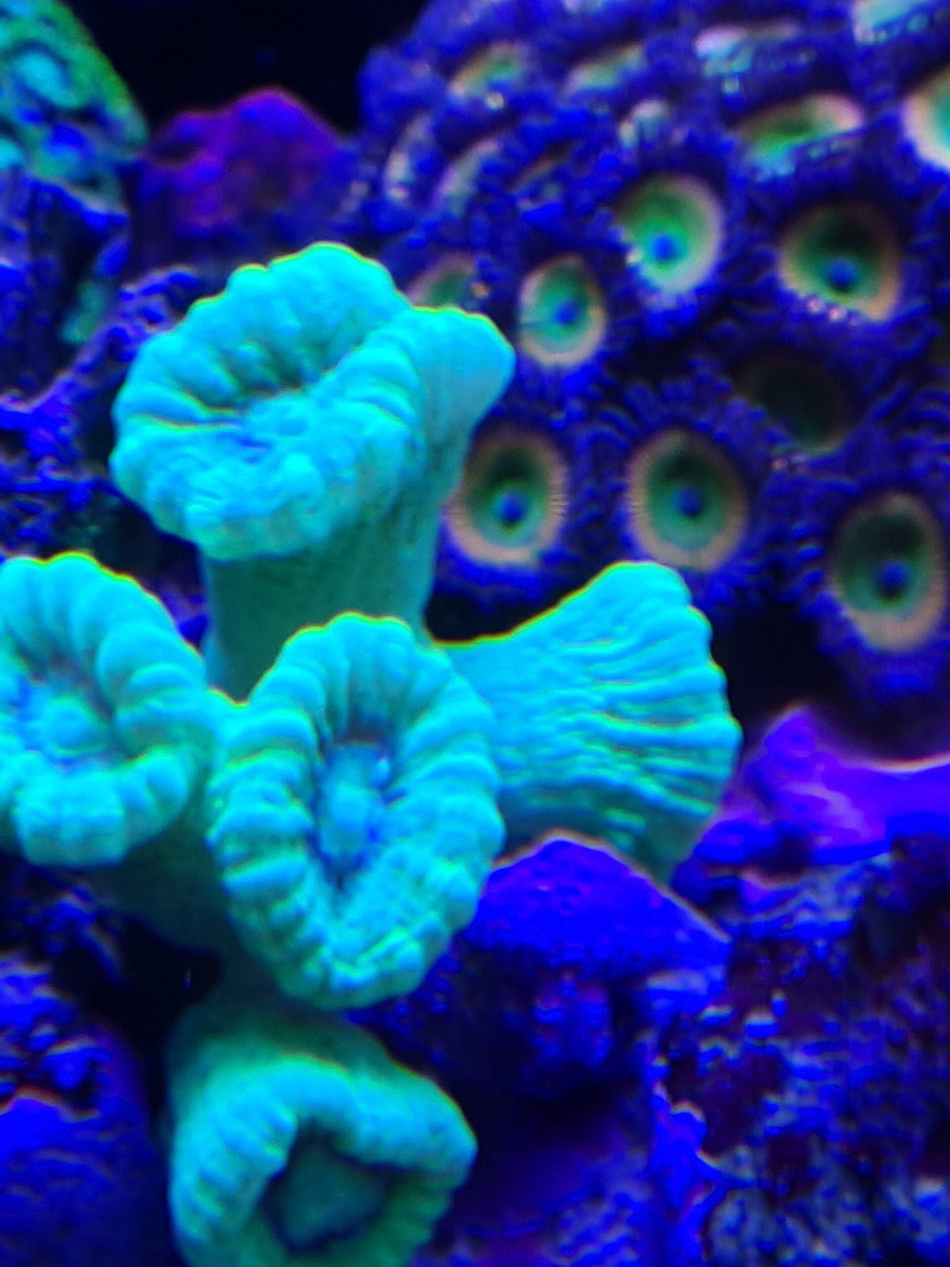 Mersch-Korallen