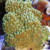 Montipora danae sp.10 `knallgrün´ Größe S