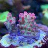 Seriatopora Hystrix pink *WYSIWYG*