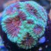 Acanthastrea Bowerbanki Ultra