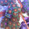Pink Zipper Zoanthus 2 bis 3 Polypen