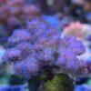 Stylophora pistillata (Milka) / Montipora digitata MIX WYSIWYG