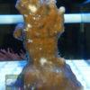 Plexaurella sp. 1 Größe M