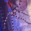 Ophiocoma erinaceus Schwarzer Schlangenstern