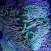 Caulerpa racemosa höhere Alge