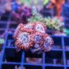 Zoanthus sp. orange