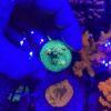 Acropora Millepora KP Silversurfer