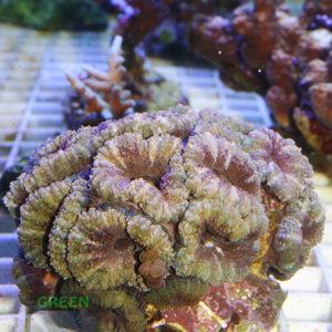 Micromussa-lordhowensis-grau-grün´