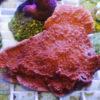 Montipora danae sp.10 `knallgrün´ Größe M