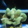 Goniopora yellow