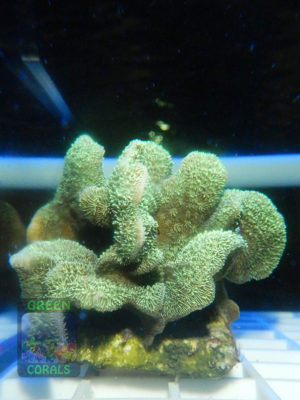 Pavona-decussata-'grün'-_S