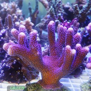 Stylophora-pistillata-'lila'