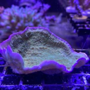 Montipora delicatula Grün-Lila Rand