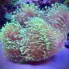 Sinularia Fiji Ultra neongreen Gr. S