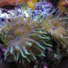 Entacmaea sp. (Grüne Mini-Anemone)