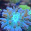 Euphyllia Glabrescens Black Torch