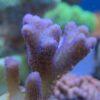 Acropora Millepora rot WYSIWYG