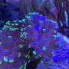 Euphyllia Purple Touch paradivisa mit lila Polypen (WYSIWYG)