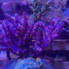 Acropora Tenuis Rainbow WYSIWYG