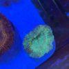 Euphyllia glabrescens Black Torch (neon green Tip) WYSIWYG