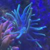 XXL quadricolor anemone d25cm