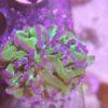 Fungia sp. fralinae Rainbow Tricolor