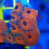 """1 Ableger Acanthastrea echinata ,,Rainbow"""" WYSIWYG/NZ 004"""