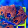"""1 Ableger Acanthastrea echinata ,,Multicolor"""" WYSIWYG/NZ 001"""
