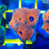 "Echinophyllia / Chalice XL ,,Neon Orange / Blue"" 001 WYSIWYG"
