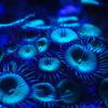 Zoanthus Alien Explosion | ca. 5-10 Polypen