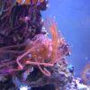 Entacmaea Quadricolor Sunburst Anemone WYSIWYG !