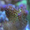 3 Montipora Platten Toxic GREEN - WYSIWYG