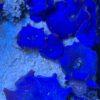 Discosoma sp. - blau/violett