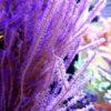 Eunicea sp. (Gorgonie) Größe: S/M (ca. 5 - 7 cm) lose, vom Muttertier geschnitten