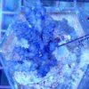 Montipora Platten Dreigestirn Mix WYSIWYG