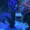 Acropora Blue Spiky WYSIWYG