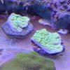 Acropora valida Tricolor WYSIWYG