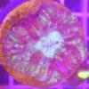 Physogyra lichtensteini Lichtensteins Blasenkoralle XXL WYSIWYG!!