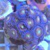 Rarität Selten Rainbow Incinerator 5 -6 Polypen sind auf den Stein gewachsene