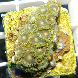 Zoanthus-sp.3-gruen-orange´