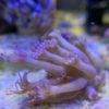 Caulastrea furcata blaugrün 4 Polypen