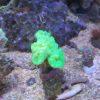 Caulastrea furcata Mint grün (WYSIWYG)