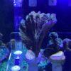 Montipora Platte grün mit lila Rand