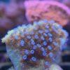 Montipora cactus - WYSIWYG