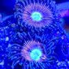 Zoanthus Alien Explosion 8 Polypen